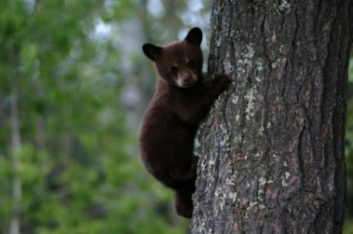 Black Bears Cubs