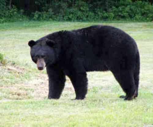 Black Bears Facts