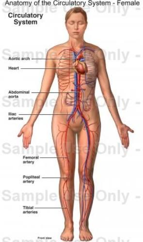 Circulatory System facts 10 Interesting Circulatory System Facts