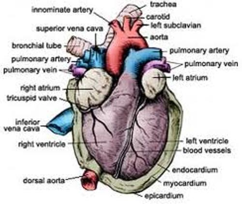 Circulatory System  images