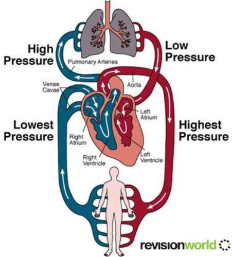 Circulatory System on human 10 Interesting Circulatory System Facts