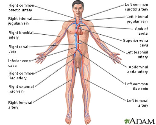 Circulatory System 10 Interesting Circulatory System Facts