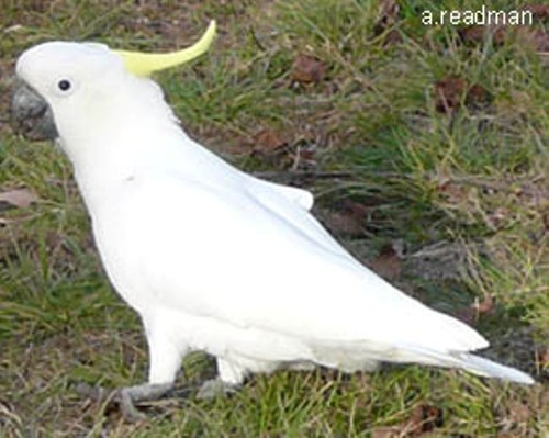 10 Interesting Cockatoo Facts | My Interesting Facts