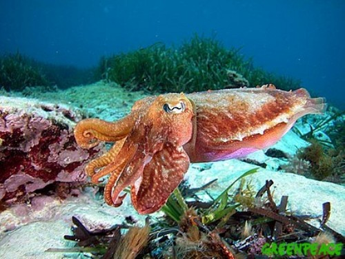 Cuttlefish swims