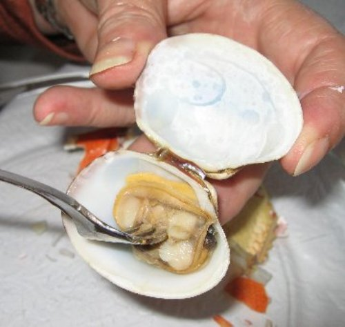 Forking Clam