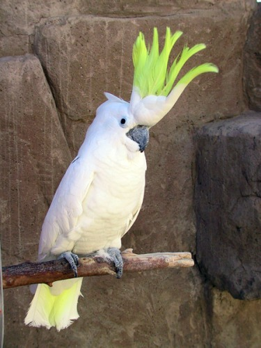 10 Interesting Cockatoo Facts My Interesting Facts