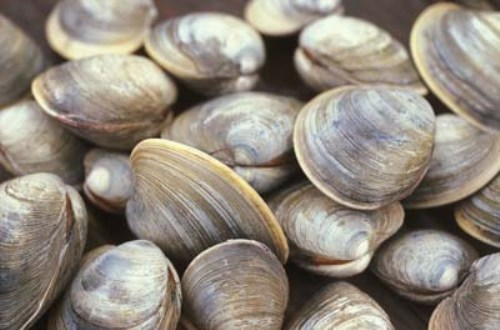 clams 10 Interesting Clam Facts