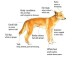 10 Interesting Dingo Facts