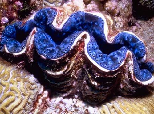 giant clam 10 Interesting Clam Facts