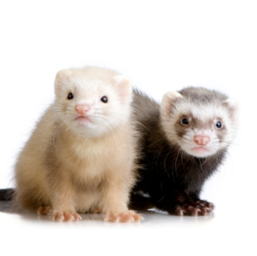 two Ferrets kits