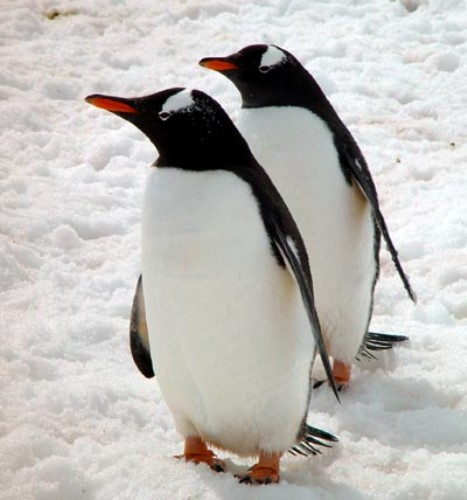 10 Interesting Gentoo Penguin Facts