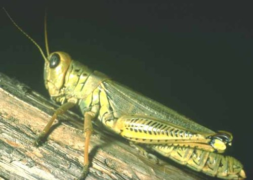 10 Interesting Grasshopper Facts | My Interesting Facts