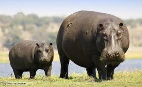 hippopotamus facts