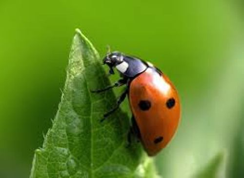 Insect Lady Bug