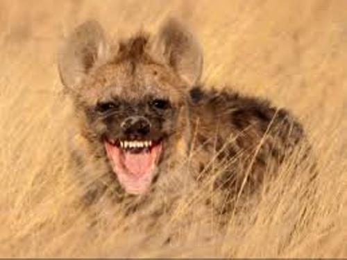 10 Interesting Hyena Facts | My Interesting Facts