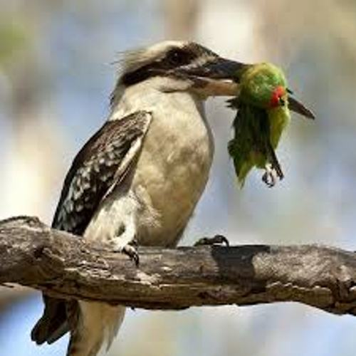 laughing kookaburra baby