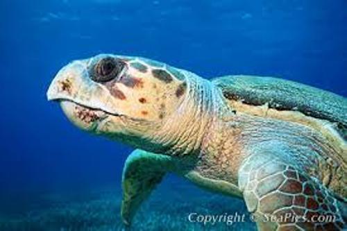 Loggerhead Sea Turtle Pic