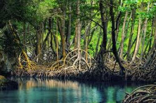 Mangroves Pic