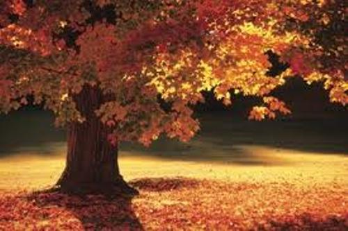10 interesting maple tree facts my interesting facts