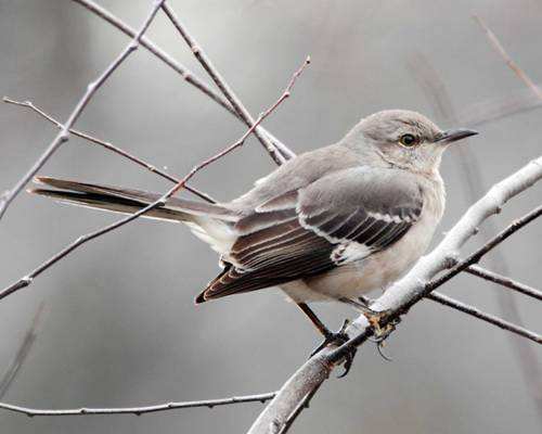 Mockingbird Beauty