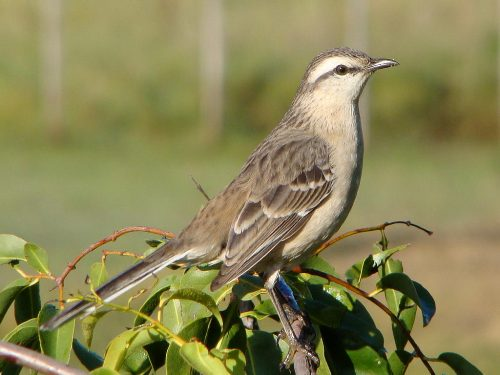 Mockingbird Facts