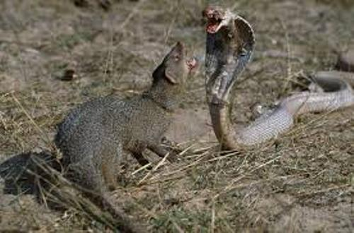 Mongoose and Snakes