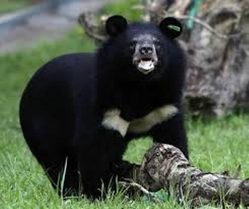 Moon Bear Diet
