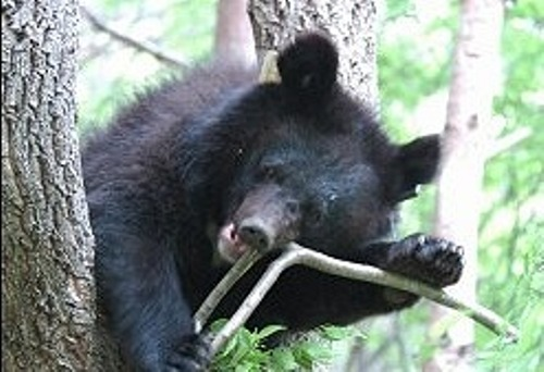 Moon Bear Pic