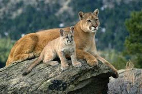 Mountain Lion Family