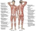 10 Interesting Muscular System Facts