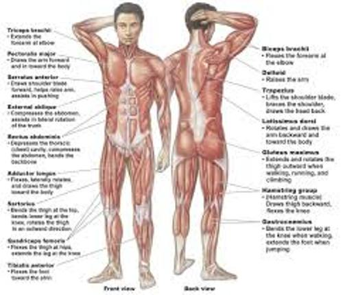 10 interesting muscular system facts | my interesting facts, Muscles