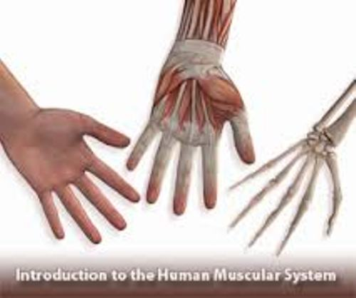 Muscular System Human