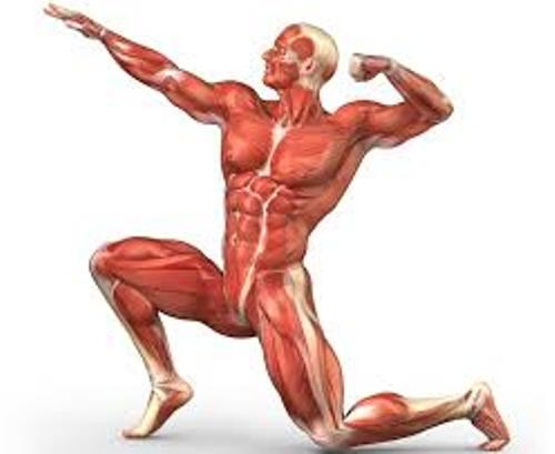 human muscular system facts – citybeauty, Muscles