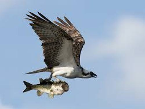 Osprey Pictures