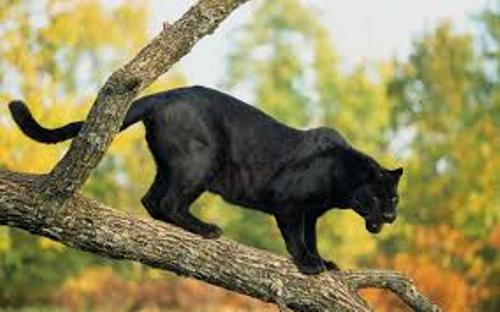 Panther on  Tree