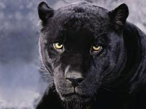 10 Interesting Panther Facts | My Interesting Facts - photo#6
