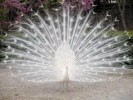 10 Interesting Peacock Facts
