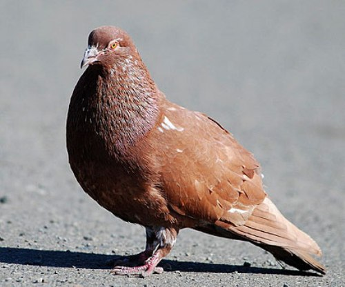 Pigeon brown