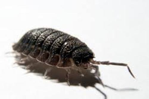 Pill Bug Facts