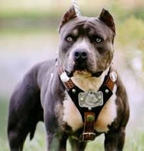 Pit Bull Facts 7: the pit bull owners