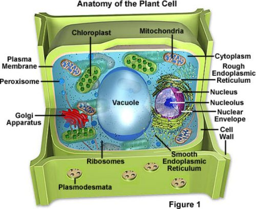 Plant Cell Facts