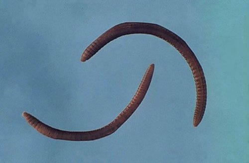 Annelid Pictures
