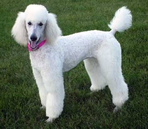 Poodle Pic