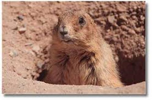 Prairie Dog Pictures