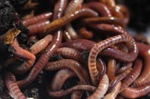 Red Wiggler Pic