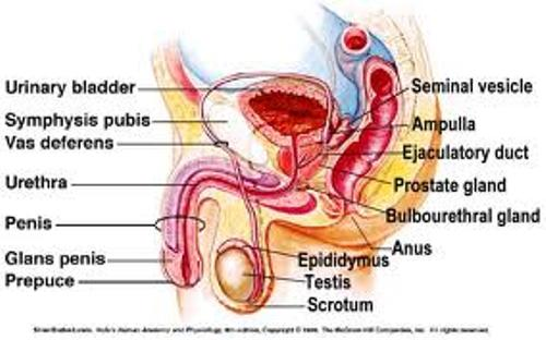 Male Reproductive System Pic