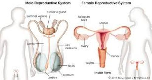 Reproductive System for Male and Female