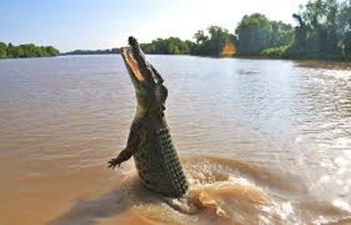Saltwater Crocodile Pic