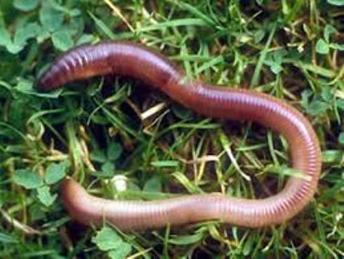 Segmented Worm Facts