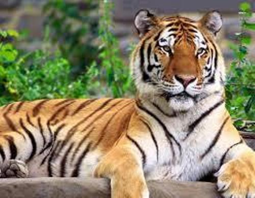Facts about Siberian Tiger